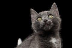 Close-up Gray Kitty Looking Up op Zwarte royalty-vrije stock fotografie