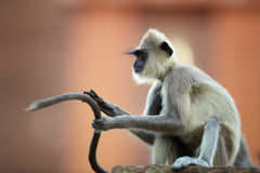 Close up Gray langur holding long tail in front of him. Close up Gray langur, Semnopithecus entellus, monkey sitting on the brick wall against red Jetavanaramaya royalty free stock images