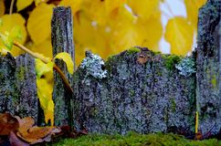 Close up of lichen covered fence with yellow autumn leaves. Close up of gray lichen covered fence with yellow autumn leaves and green moss Stock Images