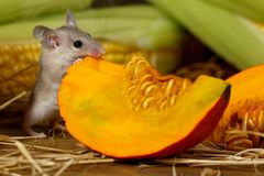 Close-up gray mouse gnaws orange pumpkin in the background of ears of corn in the pantry stock image