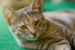 Close up gray orange cat lay on green carpet.  stock photos