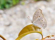 Close up of Gray Pansy or Grey Pansy (Junonia atlites) butterfly Stock Photo