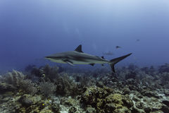 Close up gray reef shark swimming over coral reef Royalty Free Stock Photos