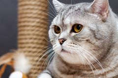 Gray shorthair scottish striped cat on background of brown scratching post stock images