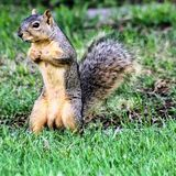 Close up of a gray squirrel with a bushy tail in the grass stock images