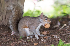 Close-up of a gray squirrel while eating a nut. Gray squirrel while eating a nut close-up Stock Photography