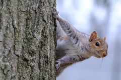 Gray squirrel climbing a tree. Close up of gray squirrel looking while climbing a tree Royalty Free Stock Photo