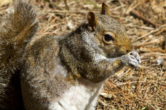 Close up of a gray squirrel (Sciurus carolinensis) Royalty Free Stock Photo