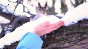 Close up for gray squirrel taking nut carefully from human hand on a snowy tree branch in winter. Squirrel sitting on a royalty free stock images