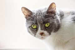 Close up of gray and white cat with green eyes, looking at the camera; light colored background stock photo