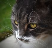 Close up of a gray and white cat with pretty eyes. Watching out for any dangers entering her yard Stock Images