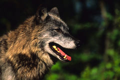 Close Up of a Gray Wolf. A close up side portrait of a gray wolf with open mouth Stock Photo