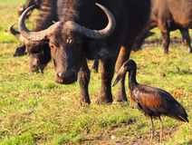 Close up of grazing African Buffalo with black stork in the front. Close up of grazing African Buffalo Syncerus caffer with black stork in the front. Location stock image
