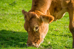Close-up of a grazing cow Stock Images