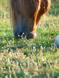 Close Up Of A Grazing Horse Royalty Free Stock Photos