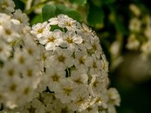 Close up of great blossoms at the bush-tree stock images
