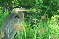 Great Blue Heron standing with neck curled royalty free stock photo