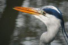 Close Up of a Great Blue Heron Standing Dead Silent. royalty free stock photo
