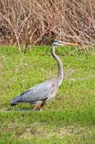 Close-up of a great blue heron standing in a swamp, Ardea herodias Royalty Free Stock Image