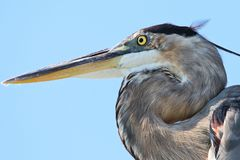 Great Blue Heron Destin Florida stock photography
