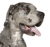 Close-up of Great Dane, 1 year old Royalty Free Stock Image