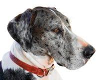 Close up great dane dog Stock Photos