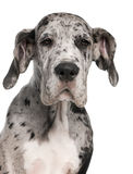 Close-up of Great Dane puppy, 3 months old Royalty Free Stock Photos