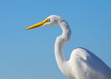 Close up of a great egret Royalty Free Stock Photos