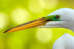 A Close up of a Great Egret Stock Image