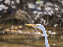 Close up of a Great Egret Royalty Free Stock Images