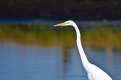 Close Up of a Great Egret Stock Photos