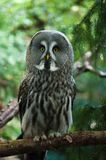 Close up of a Great Grey Owl. Or Lapland Owl Strix nebulosa Stock Images