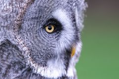 Close up of great grey owl in profile stock photos