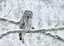 Great Grey Owl perched in a tree in winter. Close up of Great Grey Owl Strix nebulosa perched in a tree in winter, Finland royalty free stock images