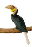 Close up Great hornbill isolate on white background Royalty Free Stock Image