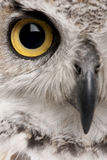 Close-up of Great Horned Owl. Bubo Virginianus Subarcticus stock image