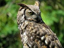 Close up of a great horned owl looking backward. Close up of an adult great horned owl looking backward royalty free stock photos