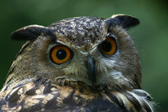 Close up of great horned owl Royalty Free Stock Photography