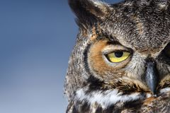 Great Horned Owl in Snow in the Winter. Close-up of a Great Horned Owl in New England in the snow stock photo