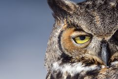 Great Horned Owl in Snow in the Winter. Close-up of a Great Horned Owl in New England in the snow royalty free stock photo