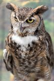 Close-up of Great horned owl royalty free stock images