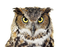 Close-up of a Great Horned owl on white Royalty Free Stock Photos