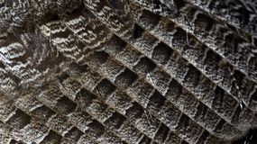 Close-up of Great-Horned owl wing royalty free stock images