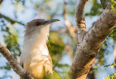 Close-up of the Great Lizard Cuckoo Stock Images