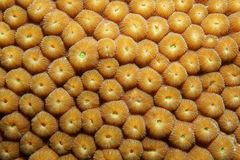 Close up of Great Star coral Montastraea cavernosa Royalty Free Stock Photos