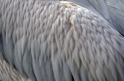 Close Up of Great White Pelican Feathers stock photo