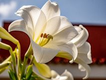 Close up of a great white wedding lily royalty free stock image