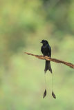 A close up of Greater Racket-tailed Drongo holding on the branc Stock Images