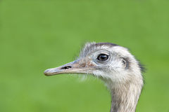 Close up of a Greater Rhea Royalty Free Stock Photo
