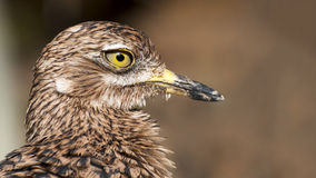 Close up of a Greater Roadrunner. A close up of a Greater Roadrunner Royalty Free Stock Image